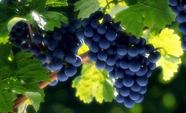 c7b543-cabernet-sauvignon-uva