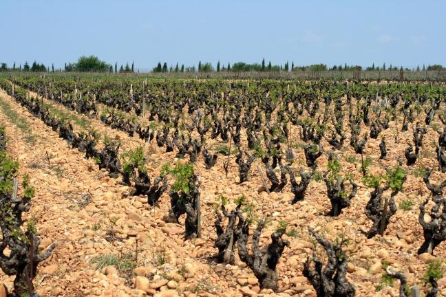 vigne_et_galets_a_chateauneuf-du-pape